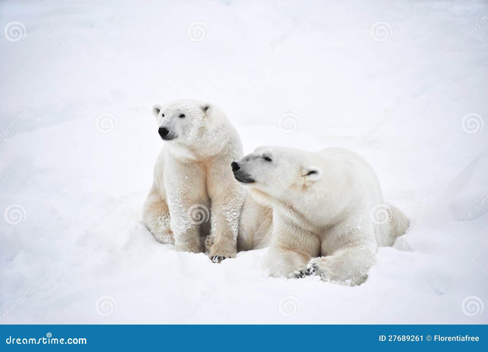 Pares de los osos polares