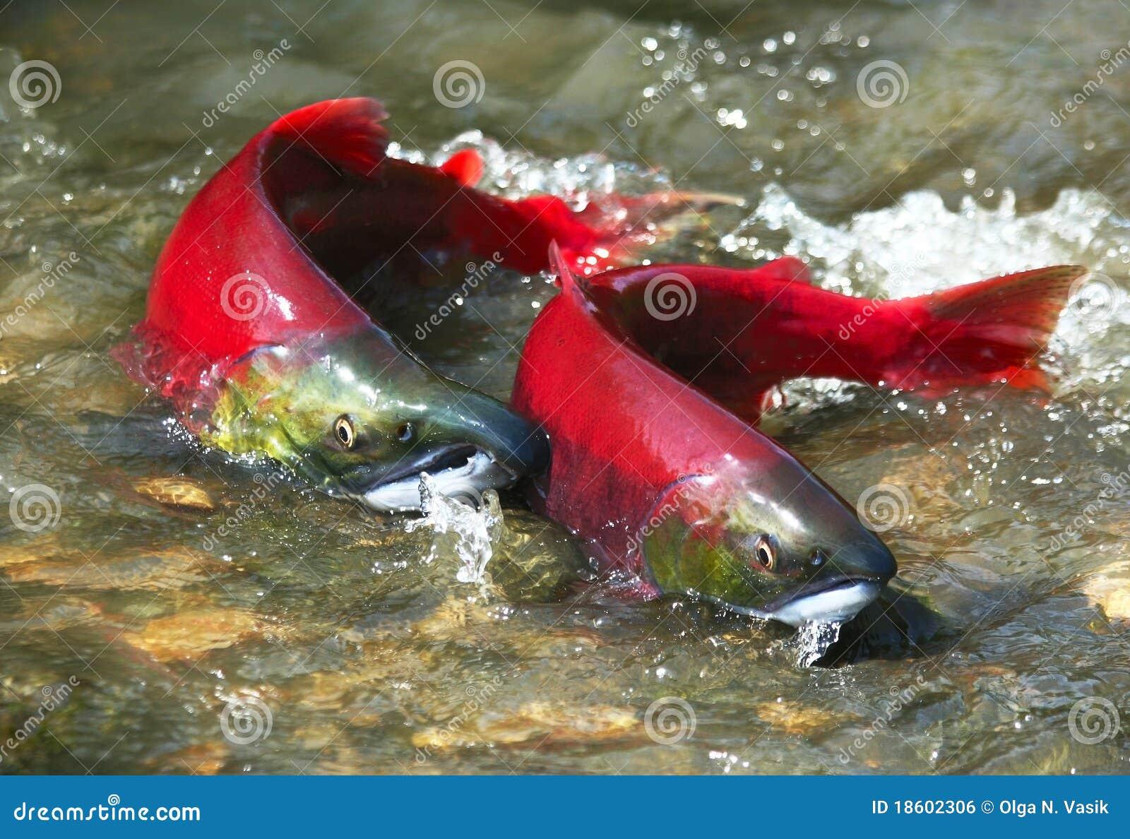 Pares de los salmones rojos