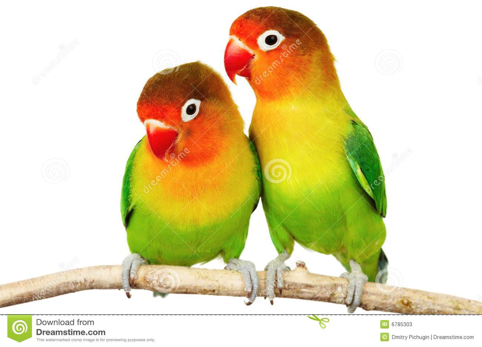 Pares de lovebirds