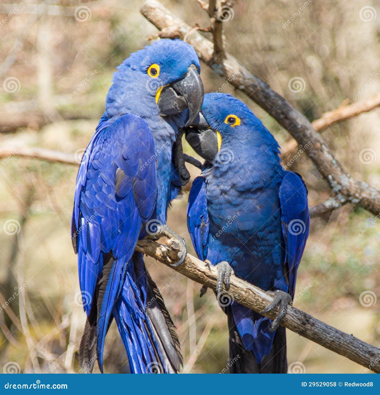 Pares de Macaw do jacinto