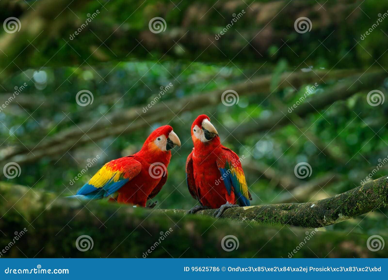 Pares de Macaw grande del escarlata del loro, Ara Macao, dos pájaros que se sientan en la rama, el Brasil Escena de amor de la fa