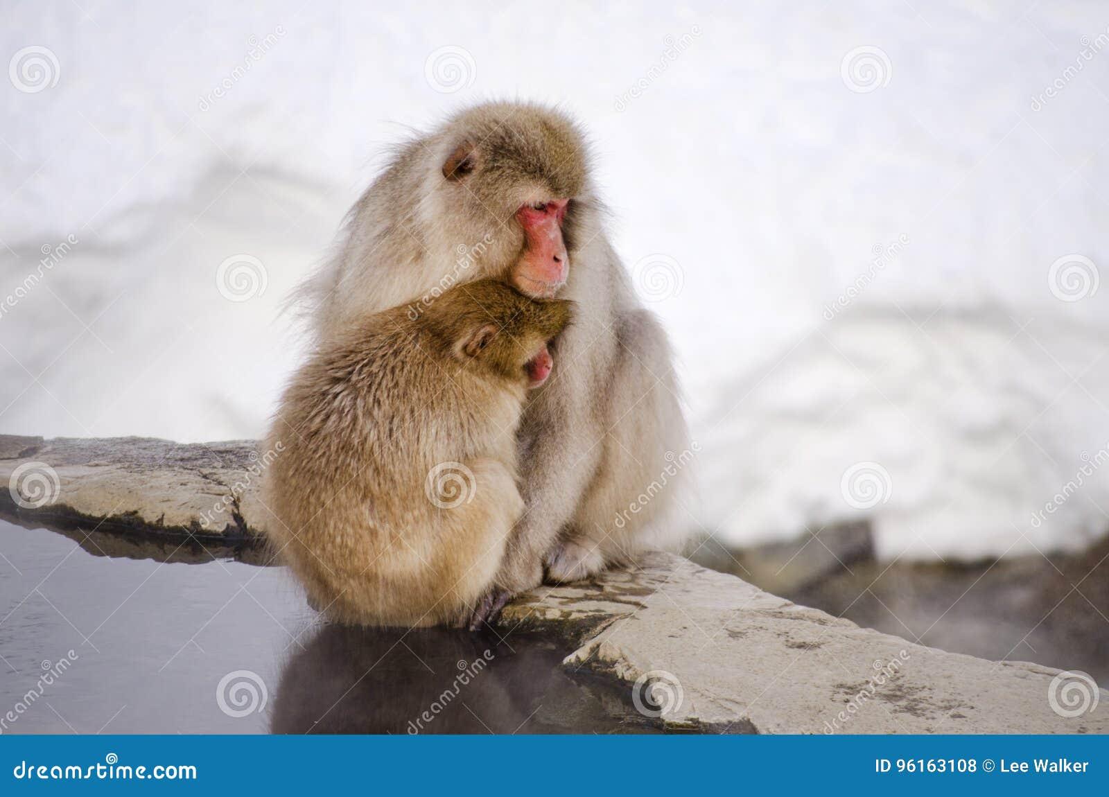 Pares De Monos De La Nieve Del Macaque Foto De Archivo Imagen De