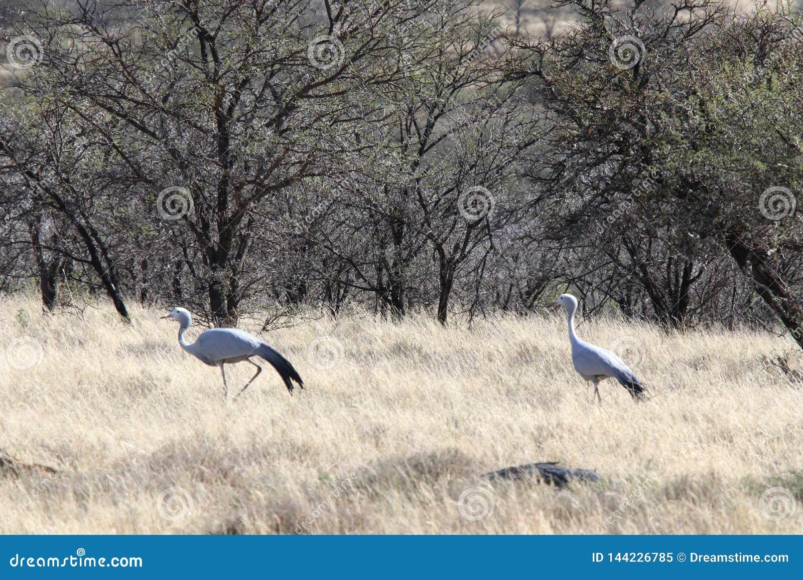 Pares de pájaros azules de la grúa que cortejan en bushfeld surafricano