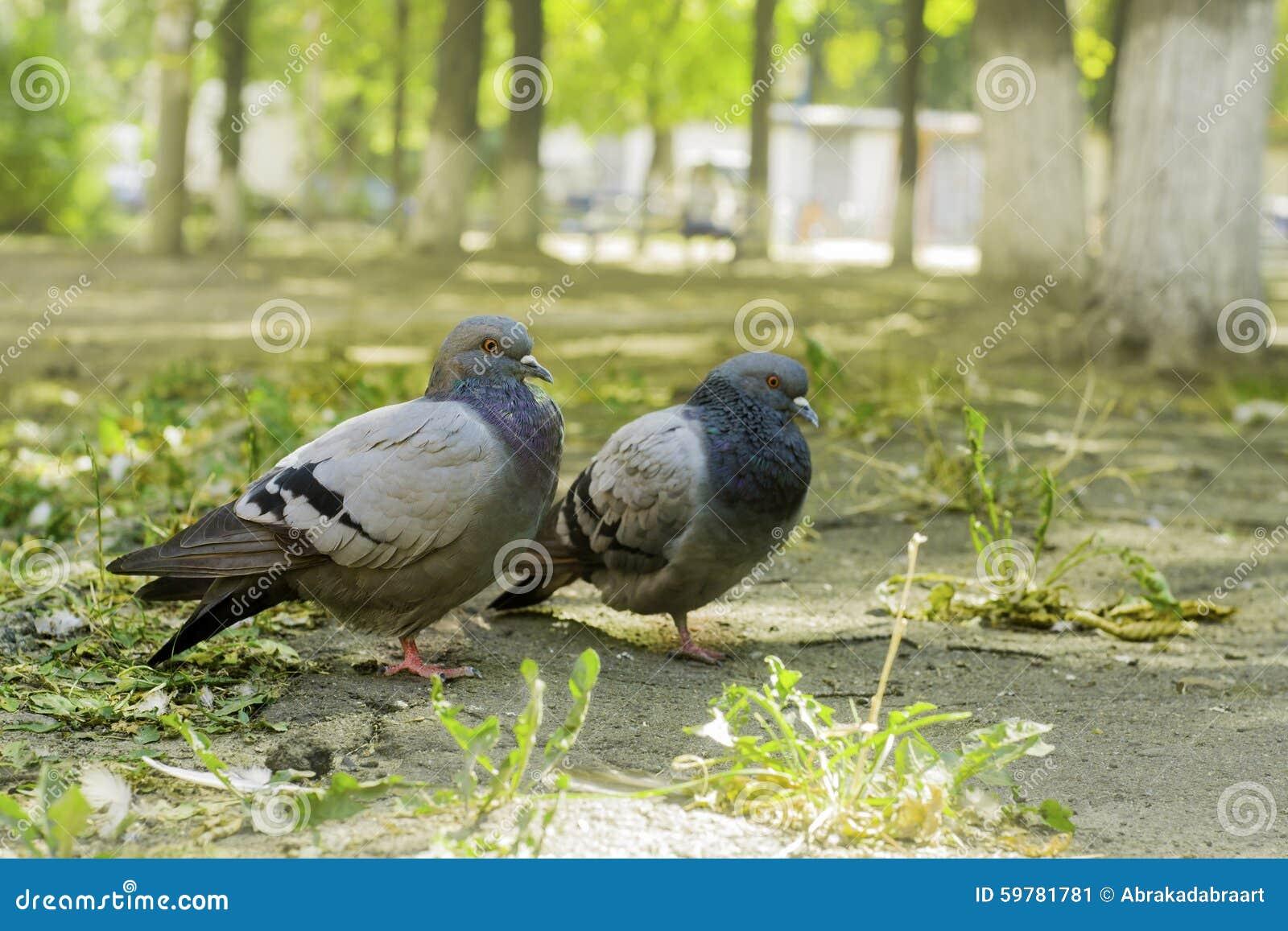 Pares de palomas que se colocan en la tierra, dos palomas