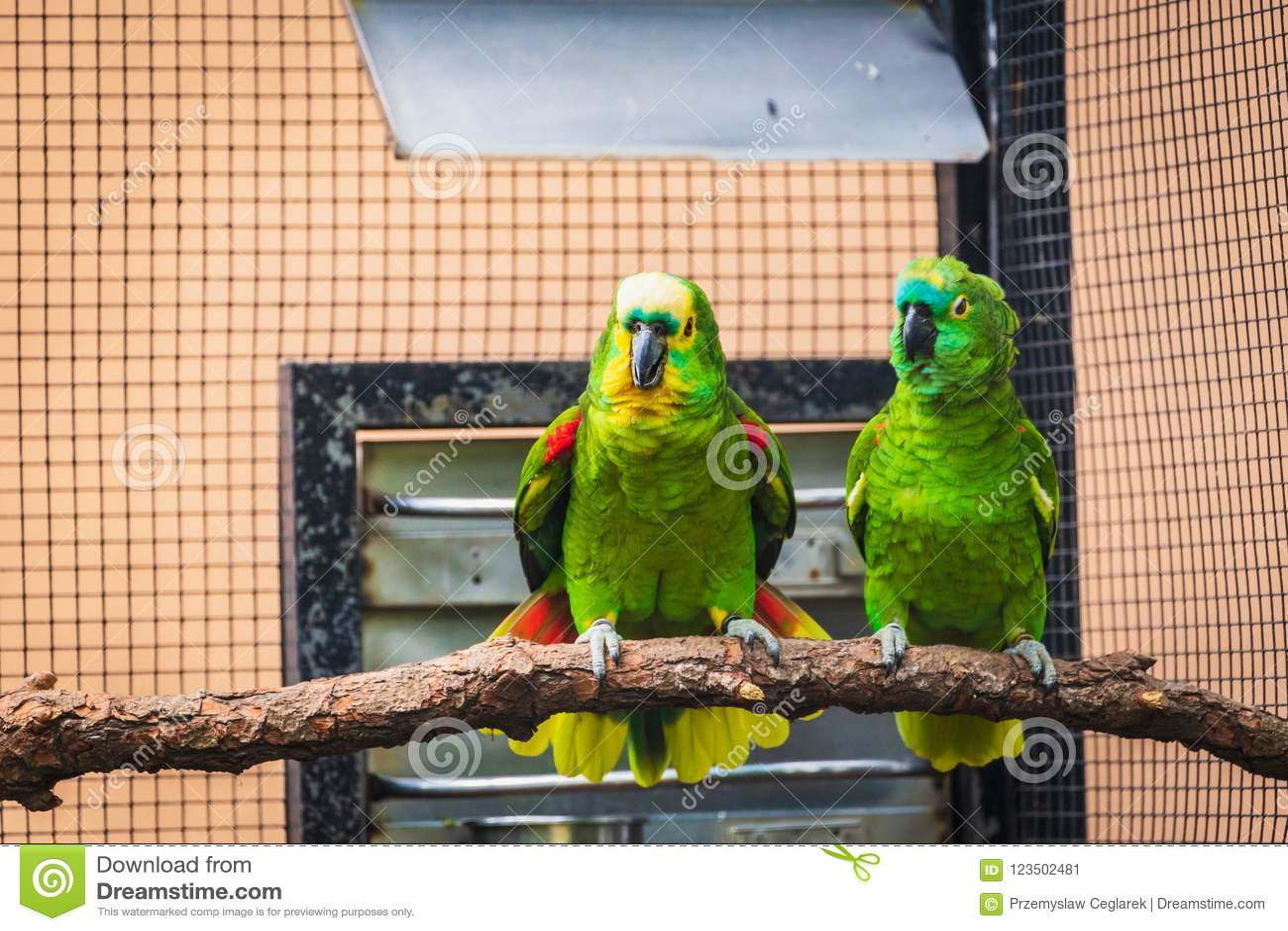 Pares de papagaios verdes