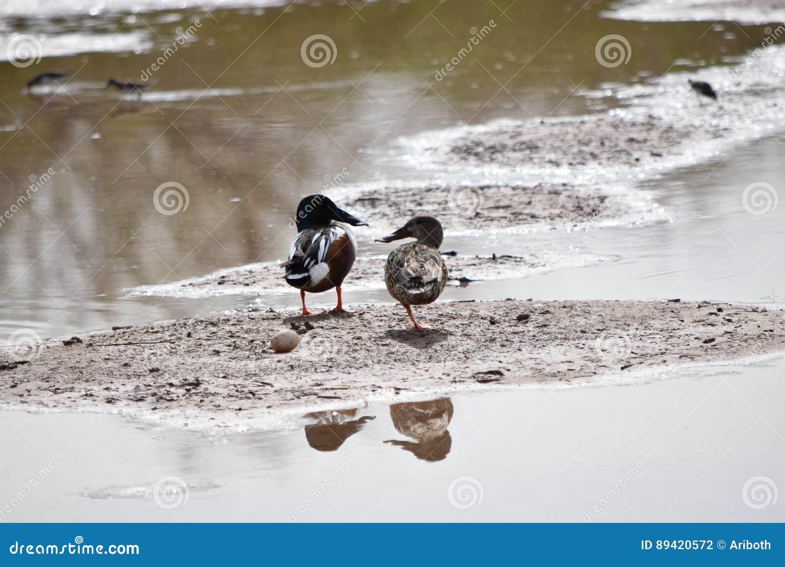 Pares de patos do pato-colhereiro do norte