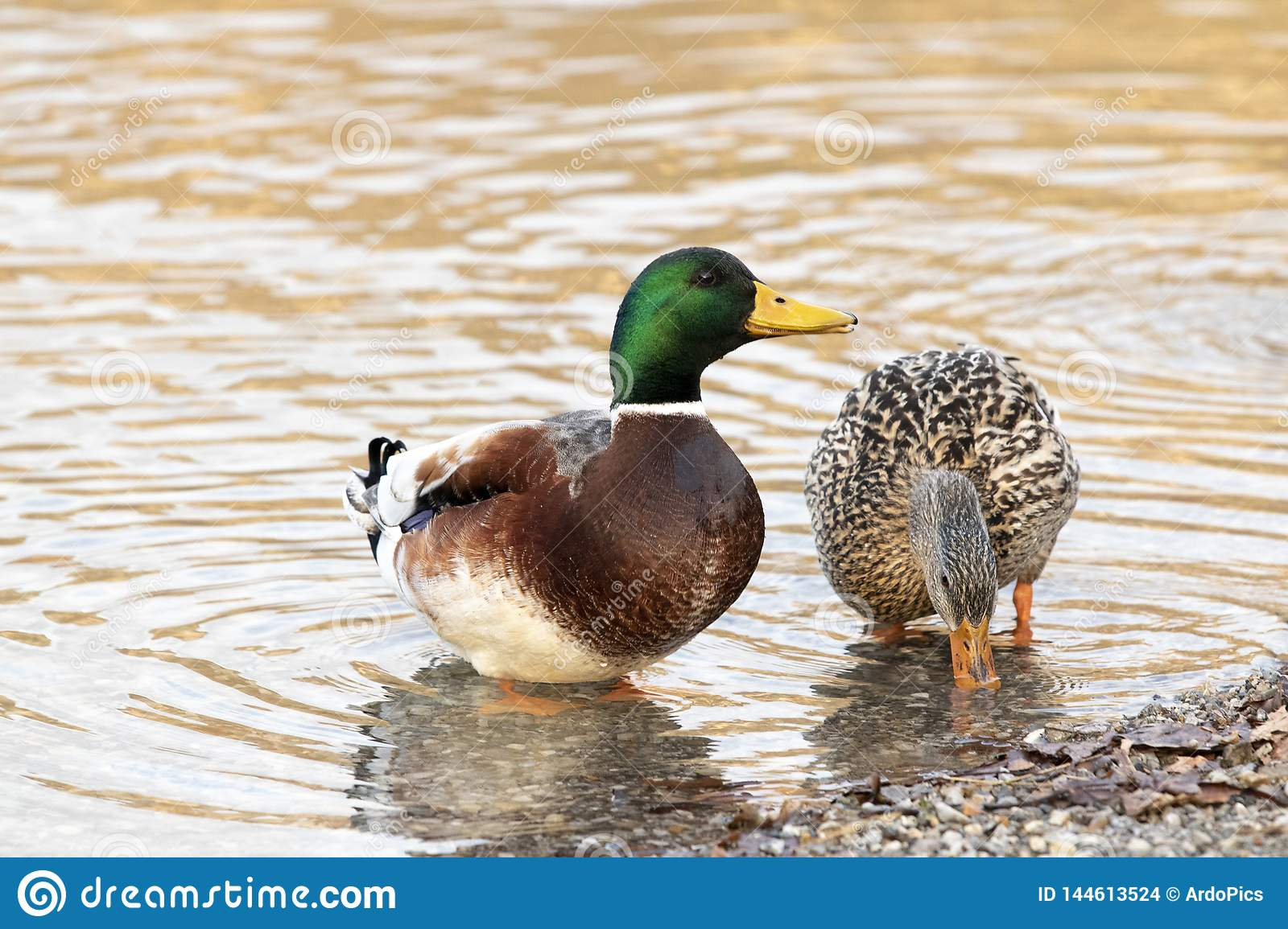 Pares de patos no lago