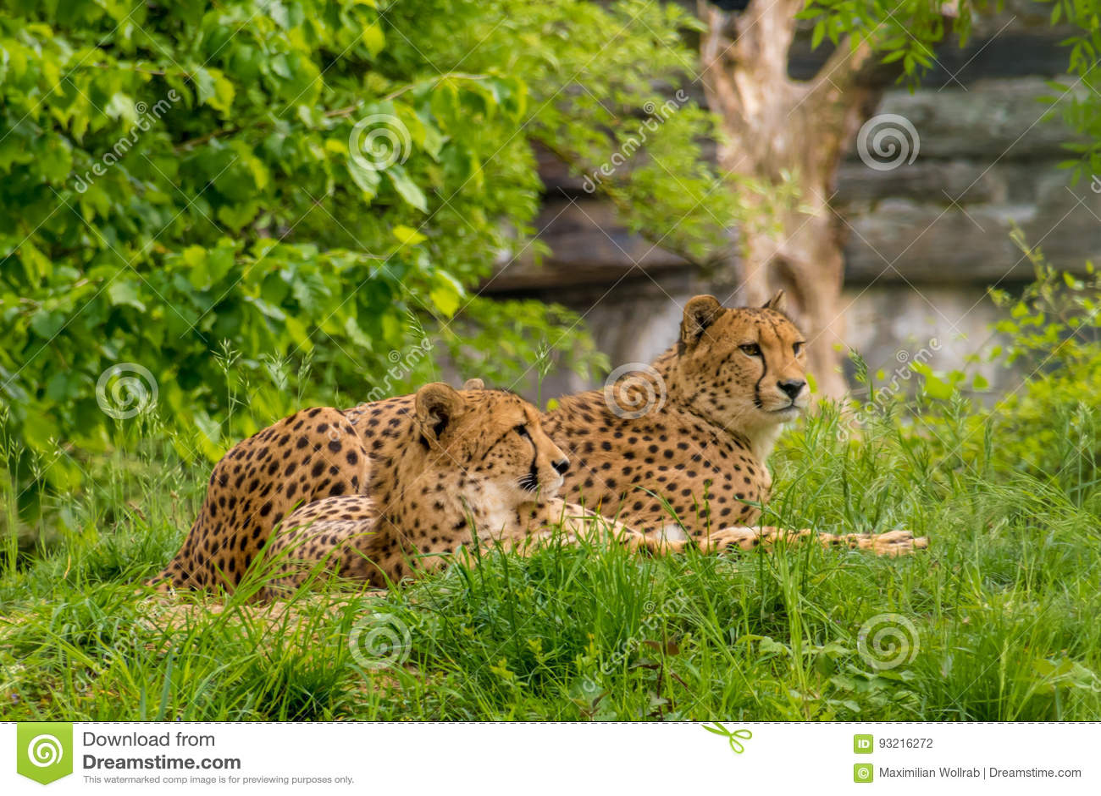Pares de pele pontilhada dos leopardos preto selvagem