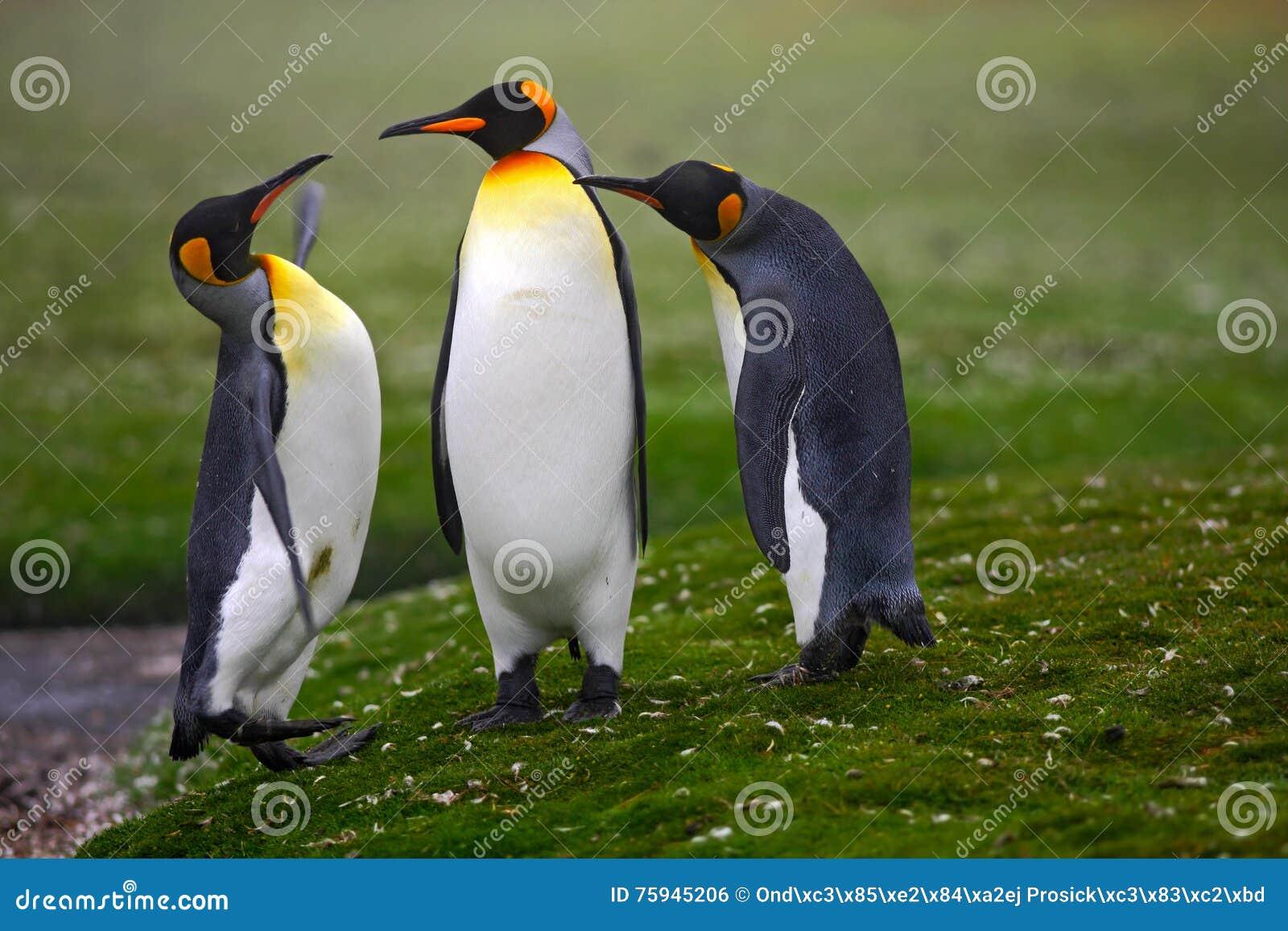 Pares de pingüinos Pingüinos de rey de acoplamiento con el fondo verde en Falkland Islands Pares de pingüinos, amor en la natural