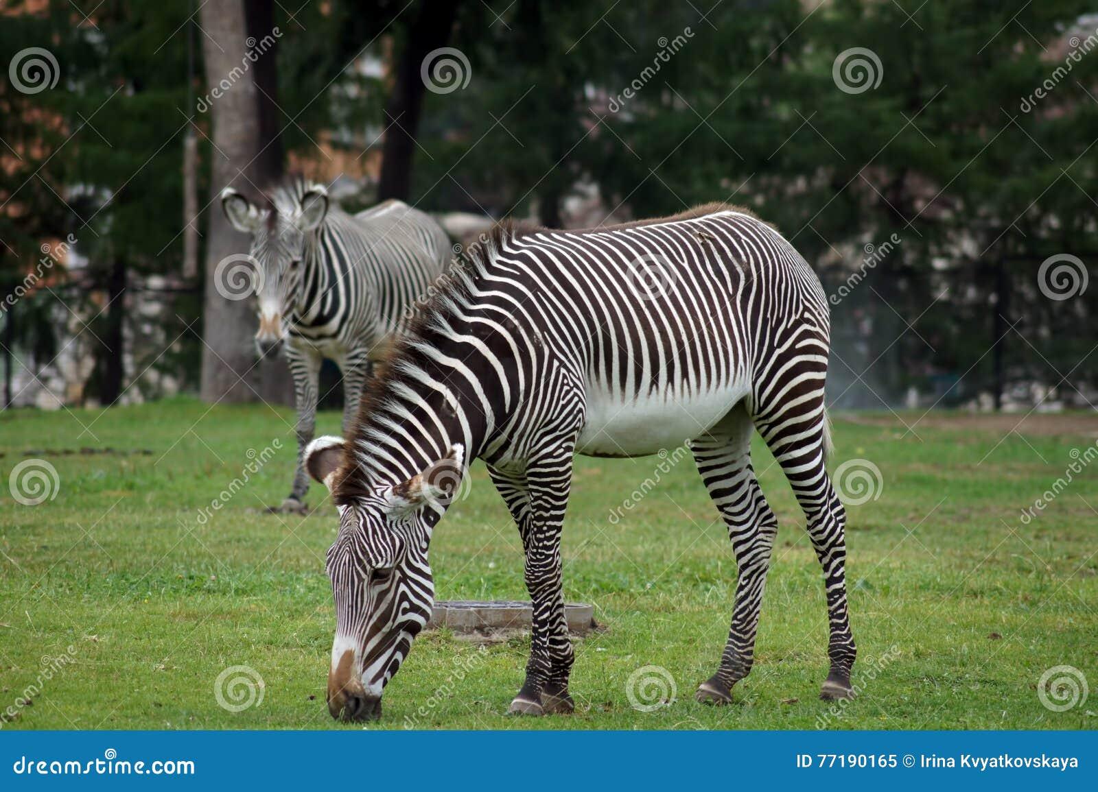 Pares de zebras