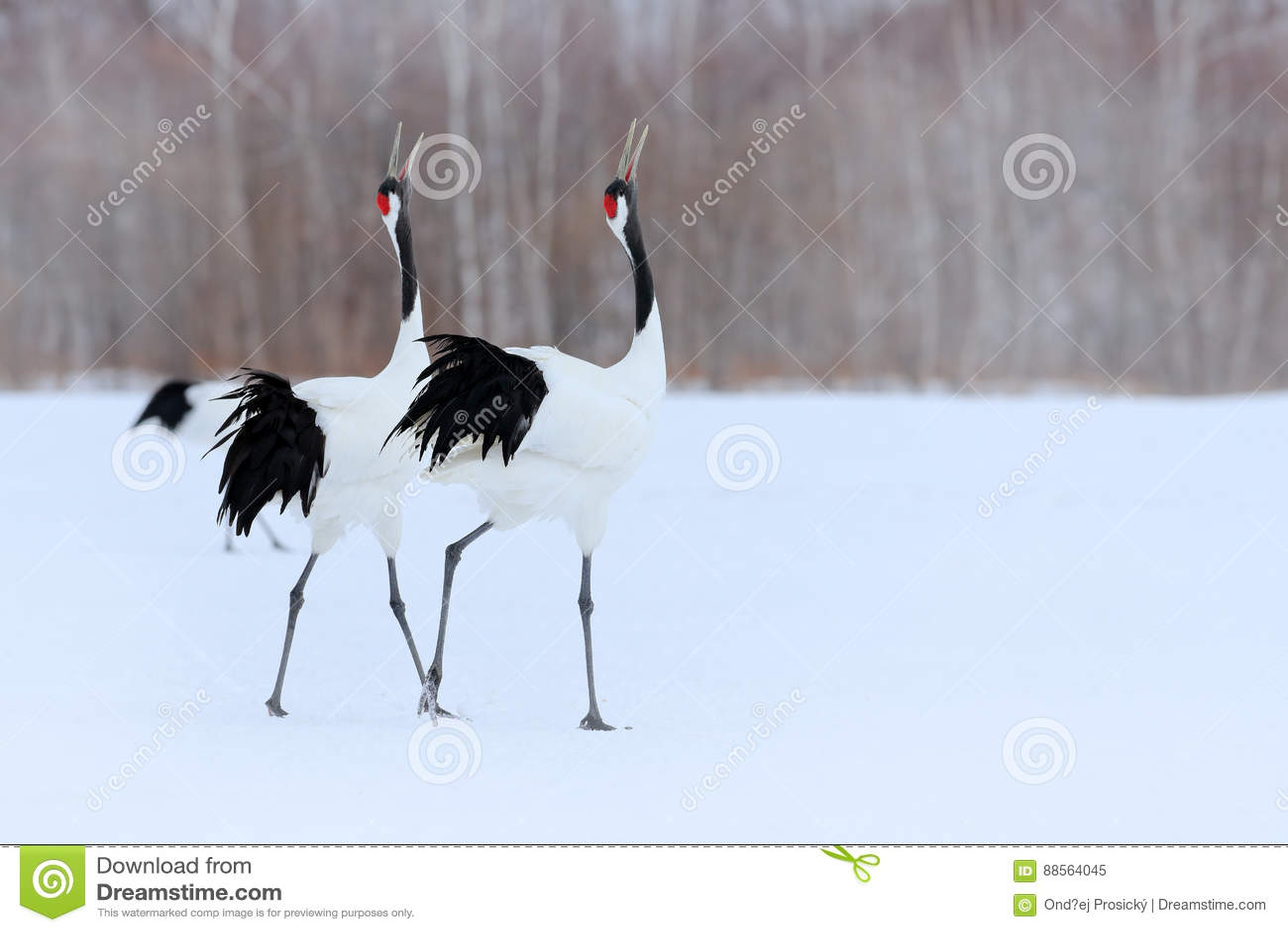 Pares del baile de grúa Rojo-coronada con el ala abierta en vuelo, con la tormenta de la nieve, Hokkaido, Japón Pájaro en la mosc