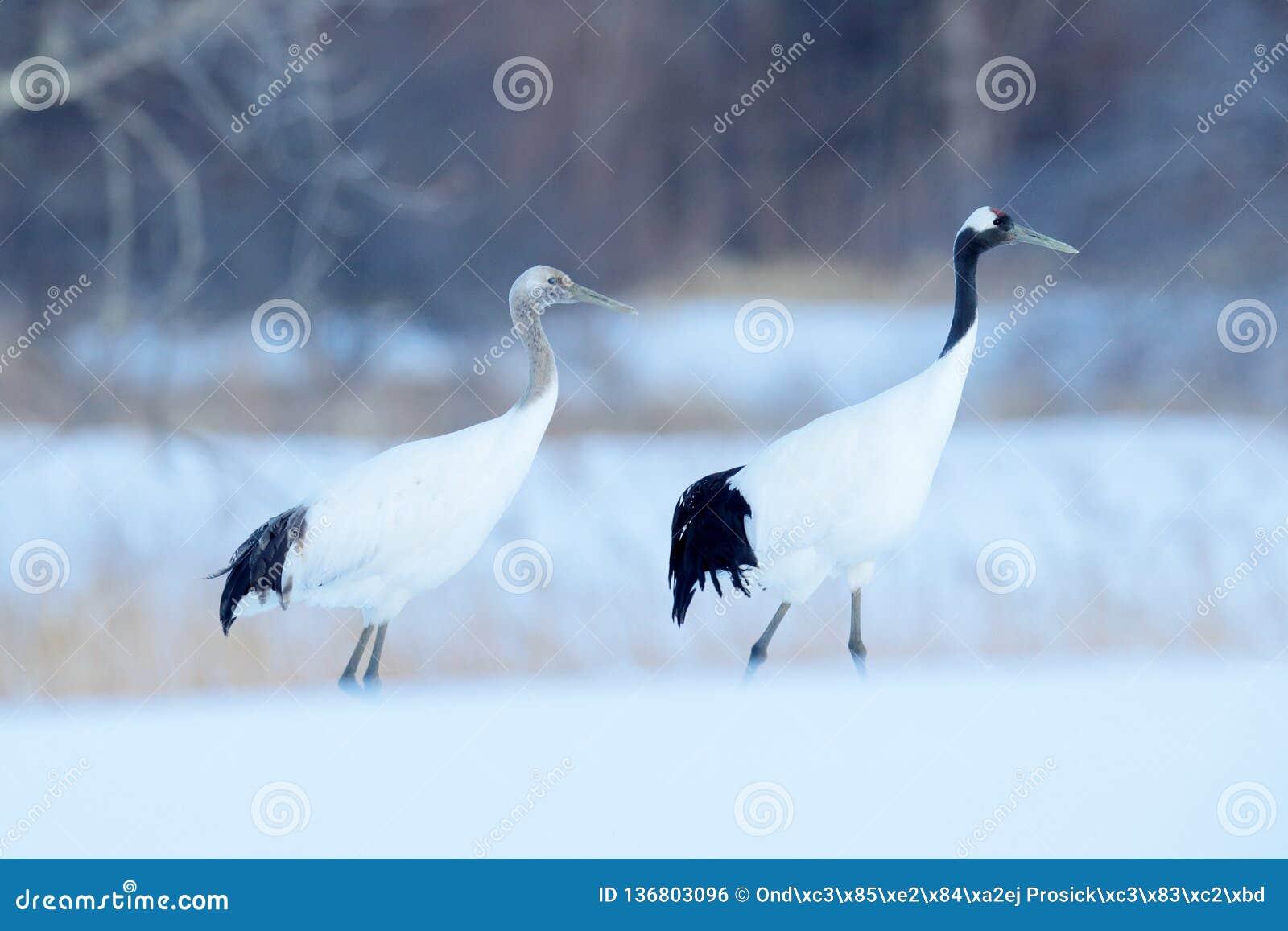 Pares del baile de grúas Rojo-coronadas con, con la ventisca, Hokkaido, Japón Pares de pájaros hermosos, escena de la fauna de la