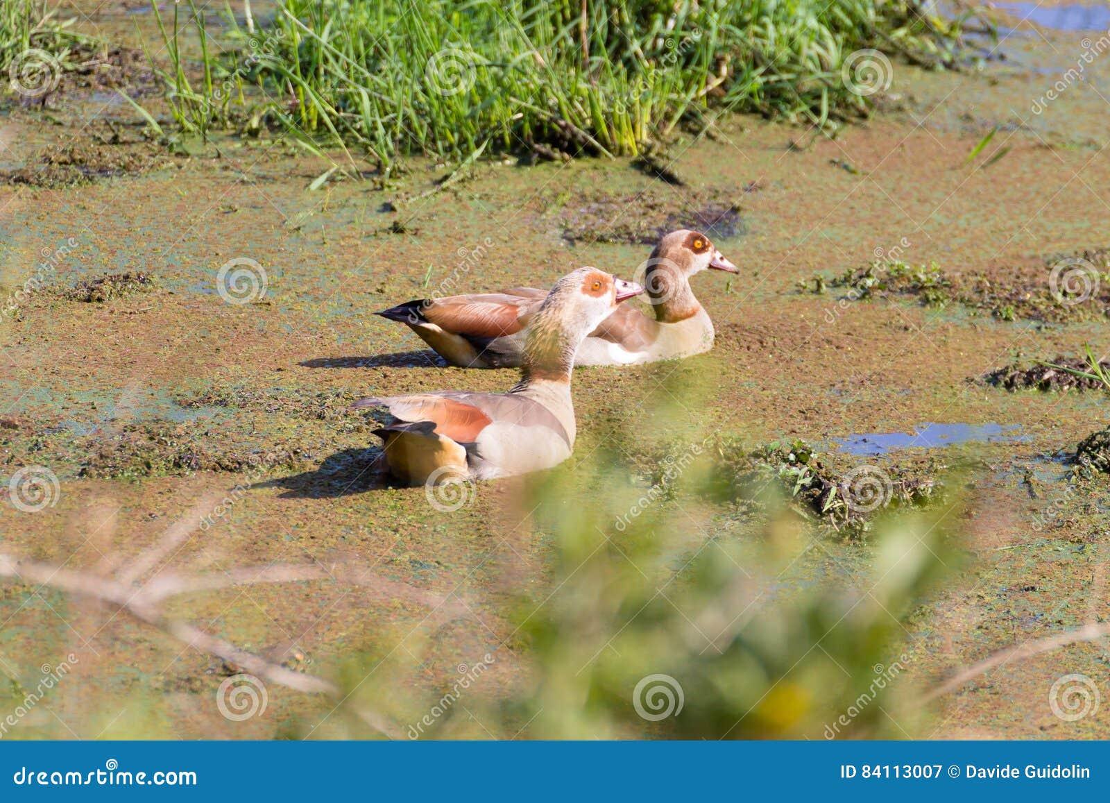 Pares del ganso egipcio del parque del humedal de Isimangaliso