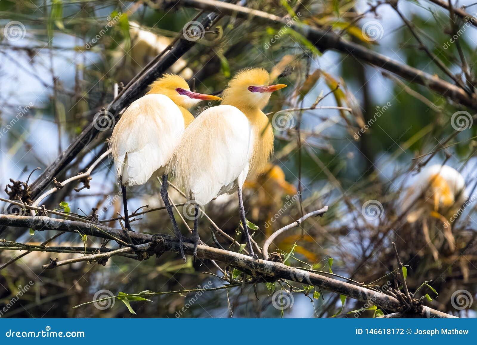 Pares del pájaro de la garceta que se sientan en los arbustos de bambú del árbol