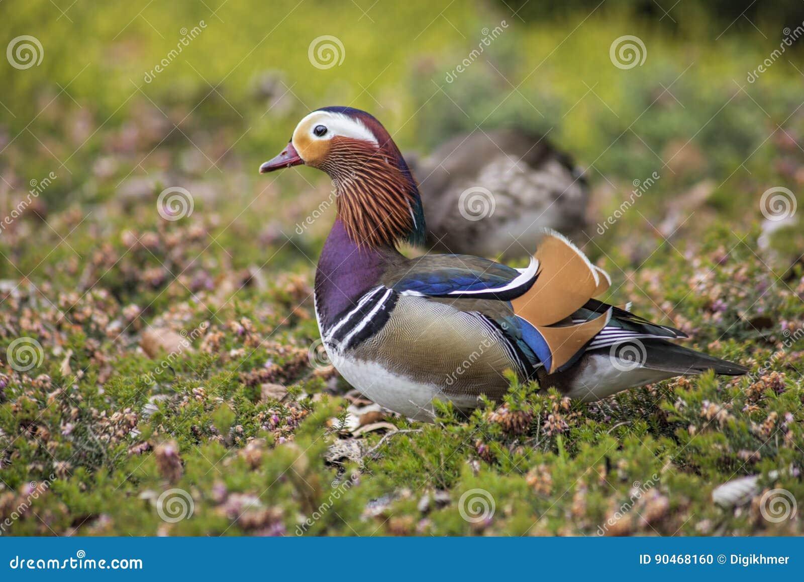 Pares del pato de mandarín