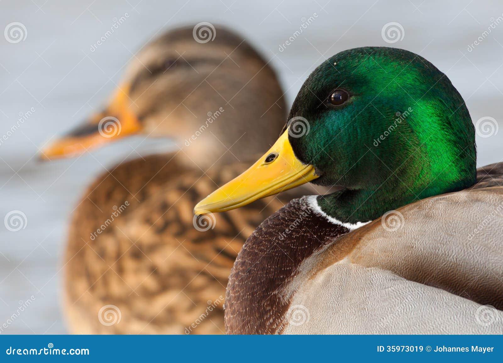 Pares del pato silvestre