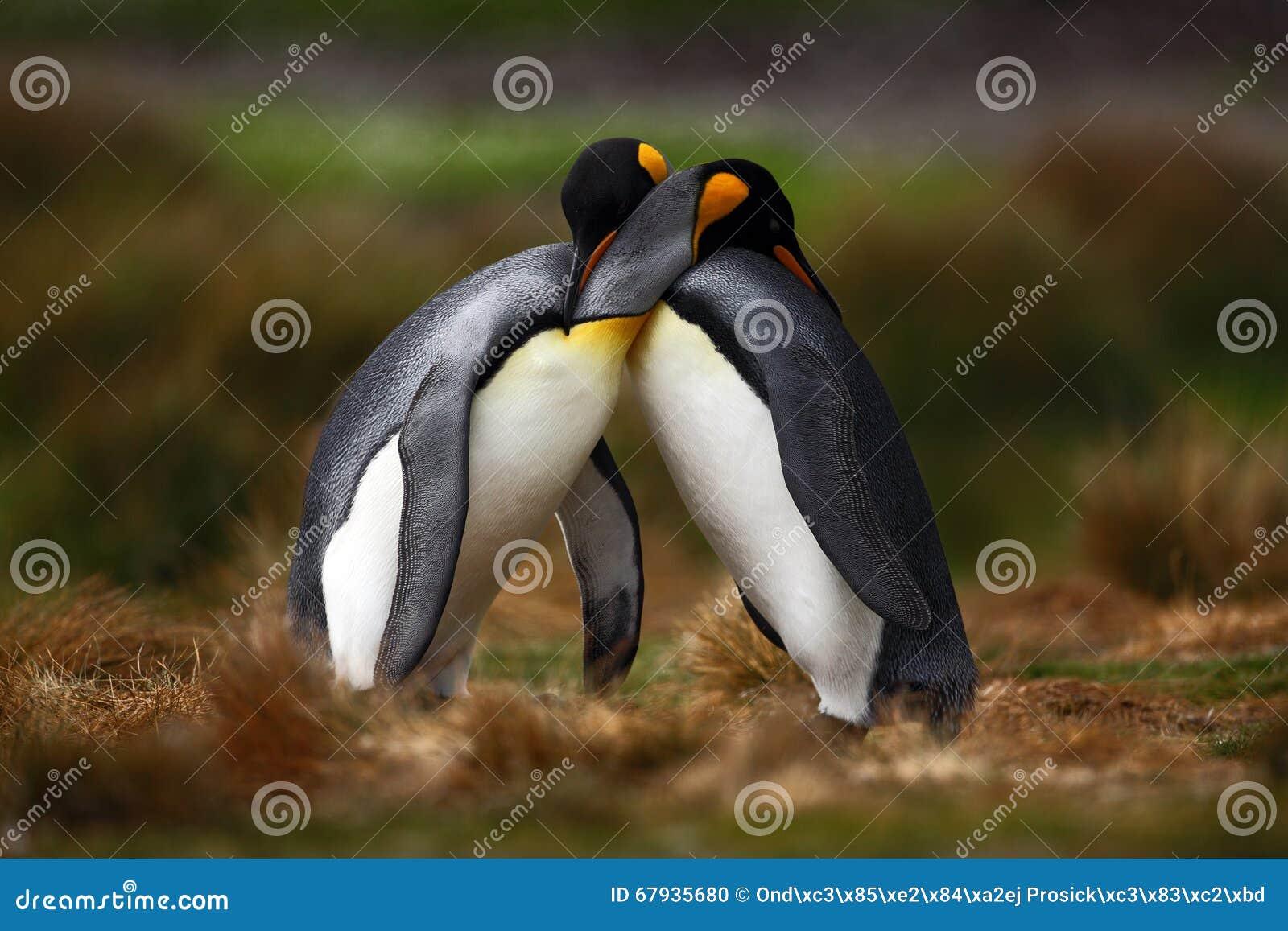 Pares do pinguim de rei que afagam na natureza selvagem com fundo verde