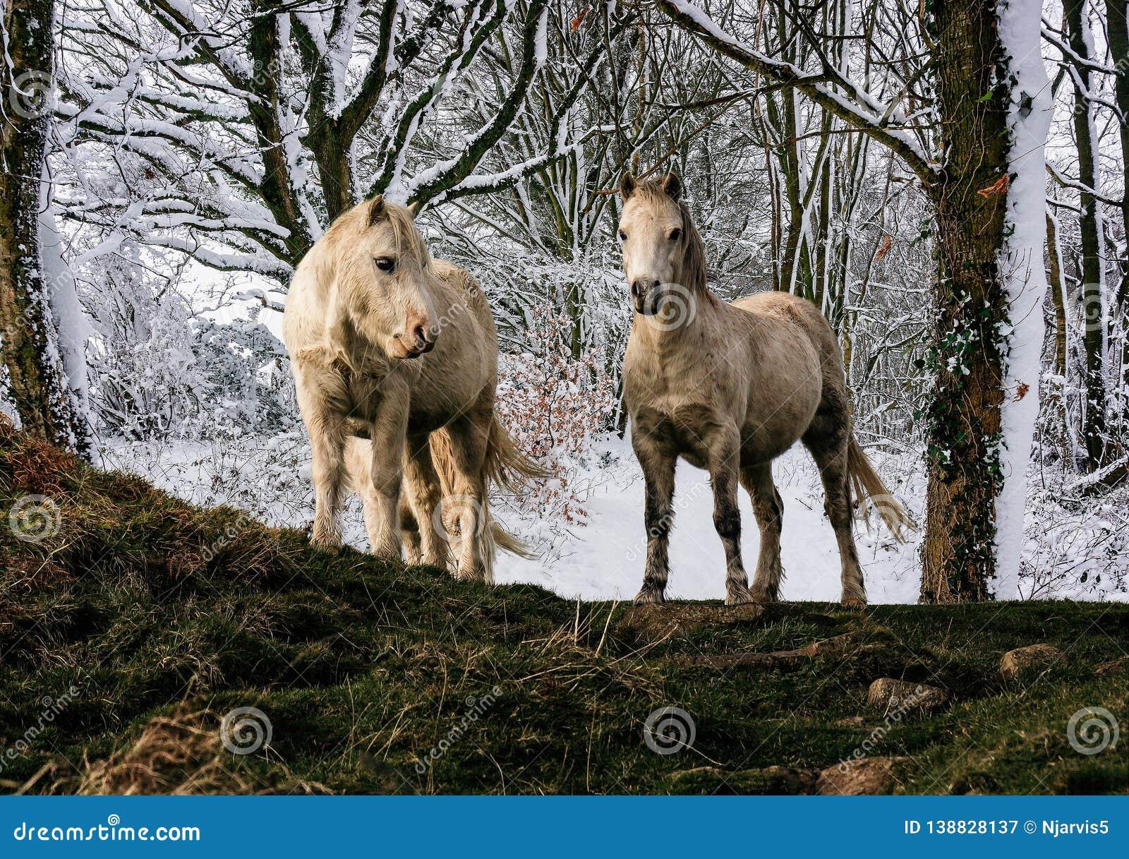 Pares dos pôneis brancos da montanha de galês com fundo carregado da floresta da neve