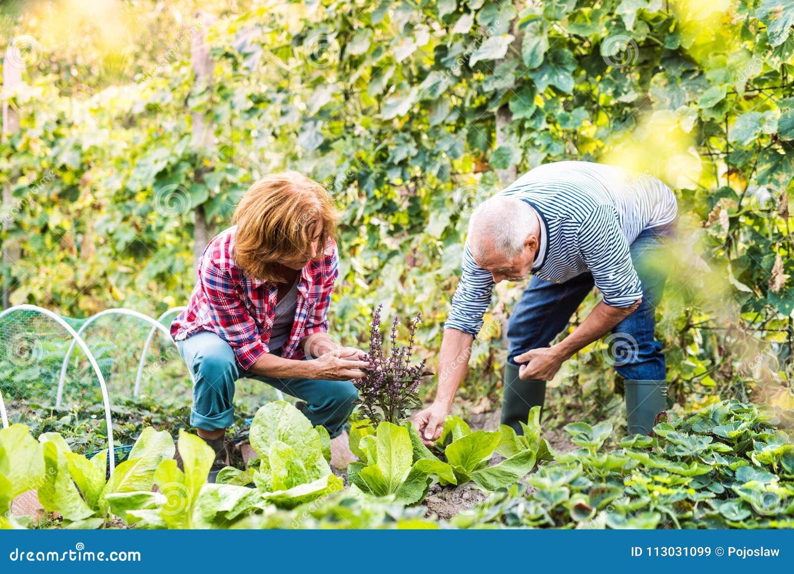 Pares mayores que cultivan un huerto en el jardín del patio trasero