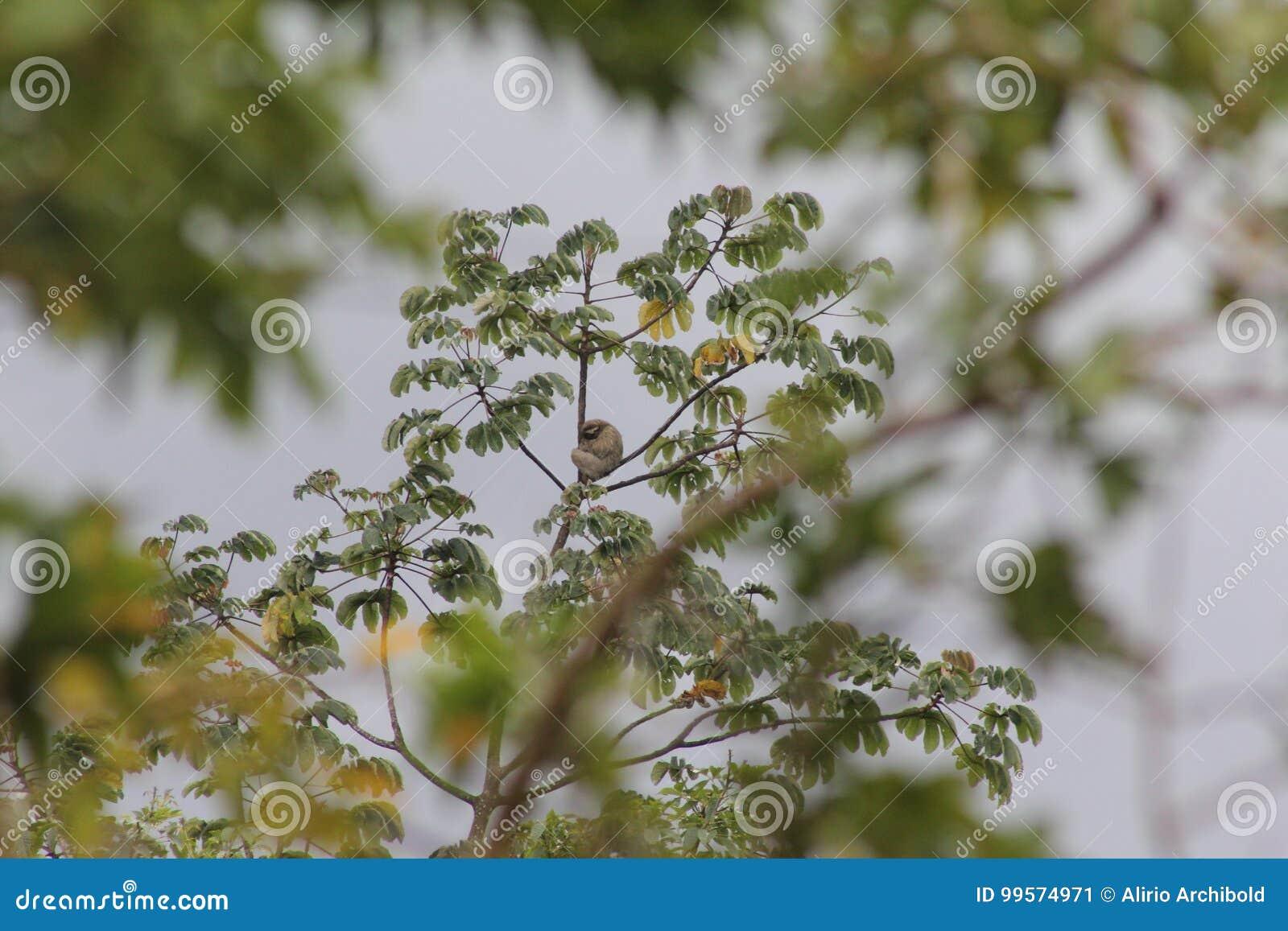 Paresse sur l arbre de Cecropia