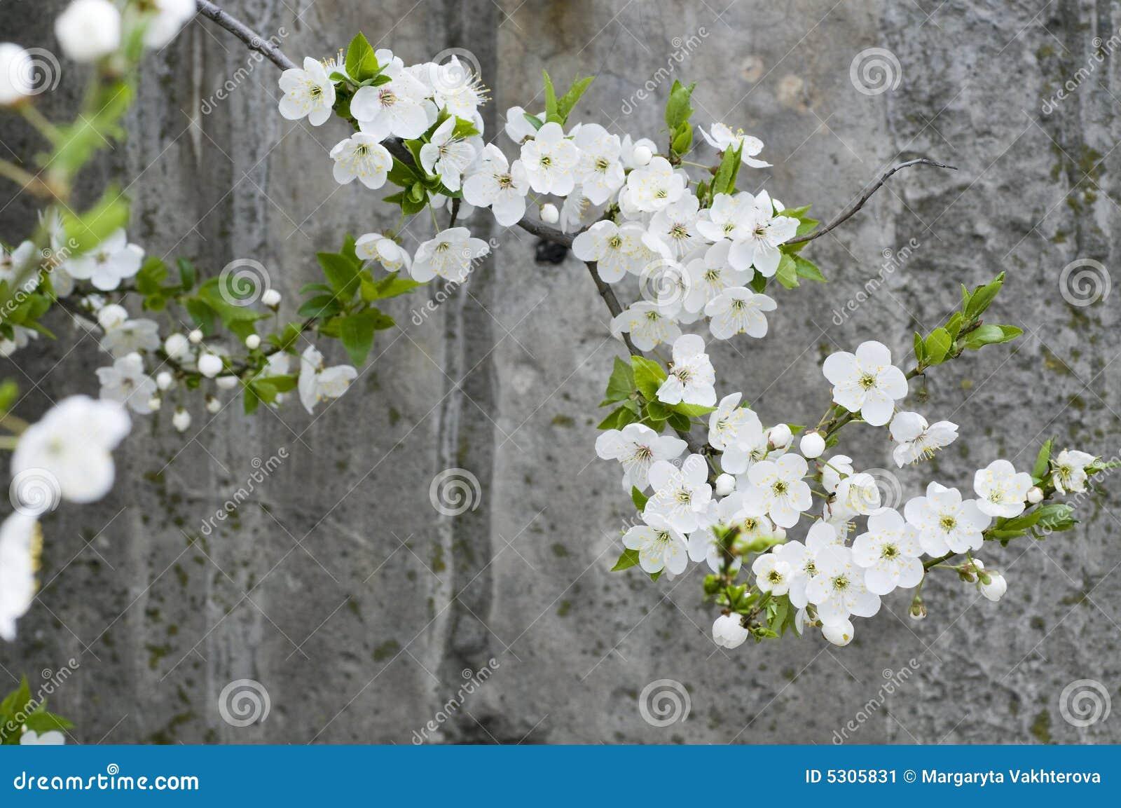 Download Parete Strutturata Del Grunge Concreto Della Ciliegia Del Fiore Immagine Stock - Immagine di arrugginito, germoglio: 5305831