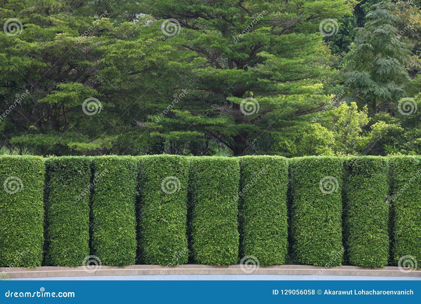 Parete verde dell ars topiaria per il giardino di separazione e di suddivisione in zone a scopo differente di utilità e della sta