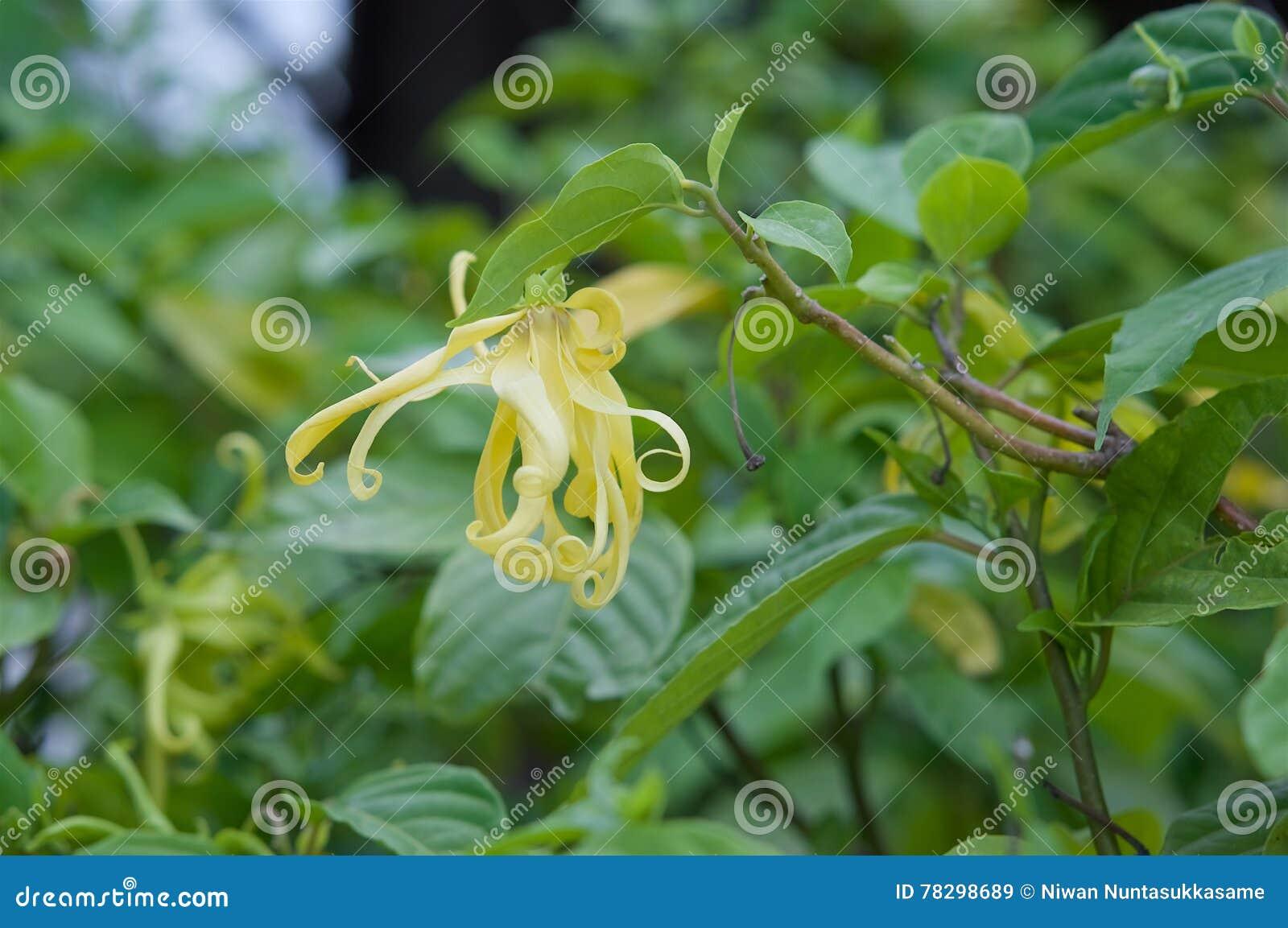 Parfüm-Baum u. x28; Ilang-Ilang Flower& x29;
