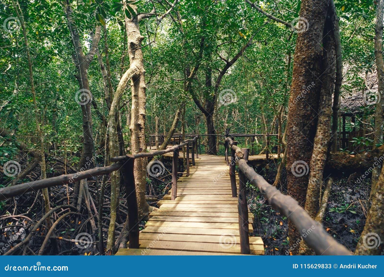 Paridade densa do nacional de Tanzânia Zanzibar Jozani da floresta da ponte de madeira