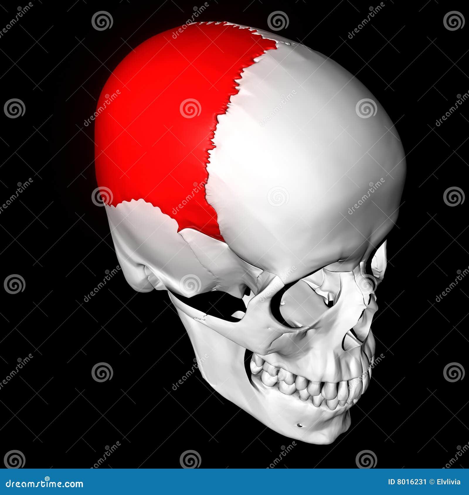 Parietal Bone Stock Illustration Illustration Of Skull 8016231