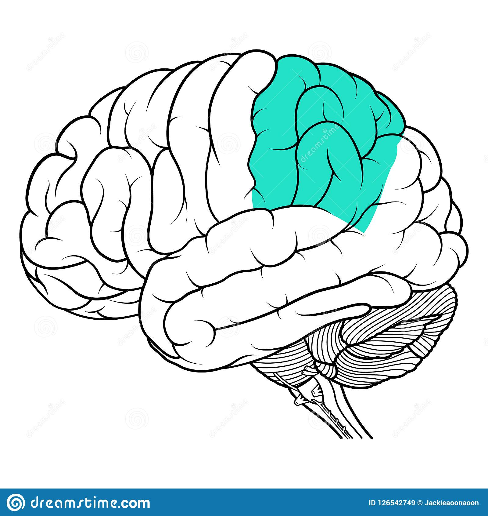 Parietal Lobe Of Human Brain Anatomy Side View Flat Stock Vector
