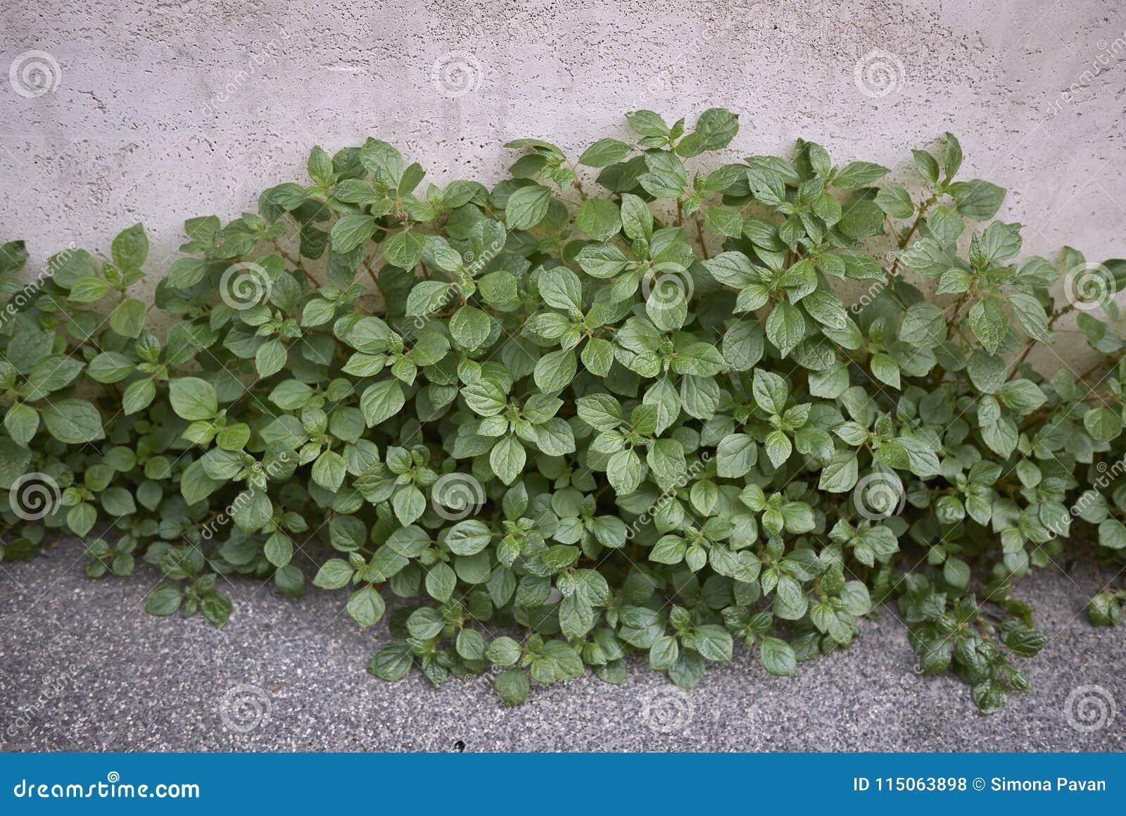 Parietaria Officinalis Plants Stock Photo Image Of Lichwort
