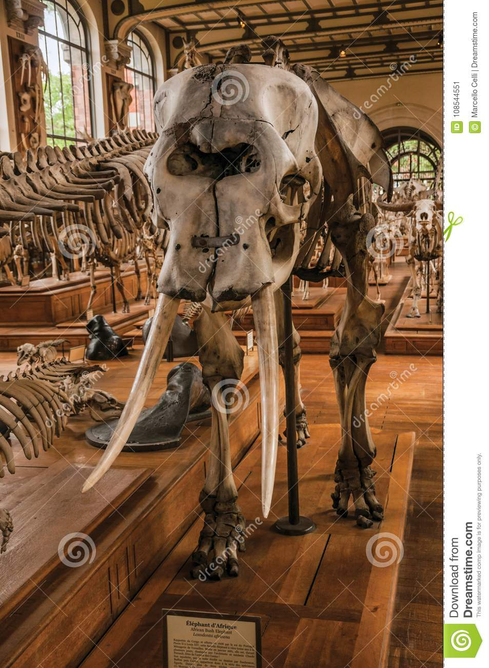 Close-up Of Elephant Skull At Hall In Gallery Of Paleontology And ...