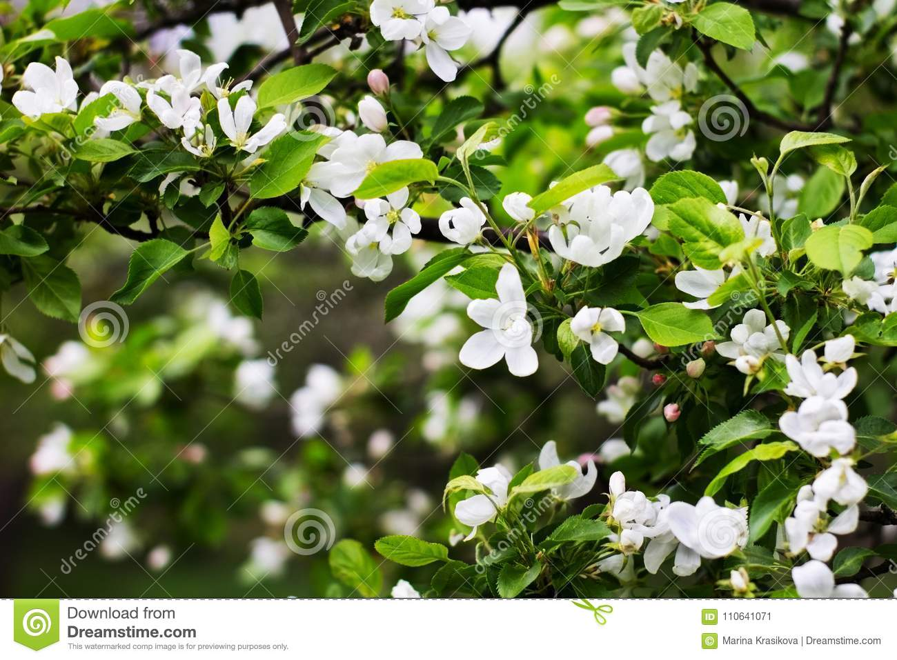 In The Park In The Spring Tree Apple Blossomed White Flowers And
