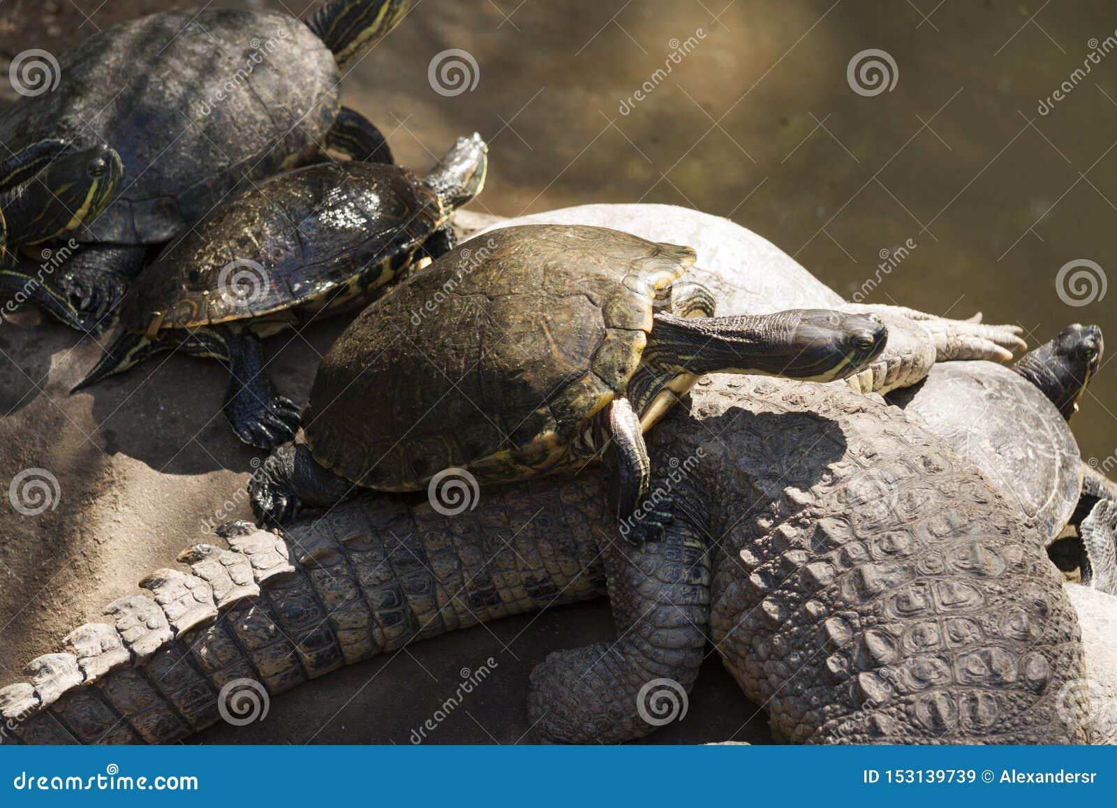 Parkerar den gröna sköldpaddan för emydidaen på krokodilen, La Venta Villahermosa tabasco, Mexico