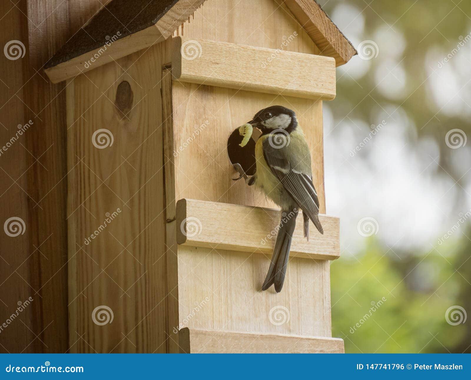 Paro carbonero con la oruga en el joven de alimentación del pico en el nidal
