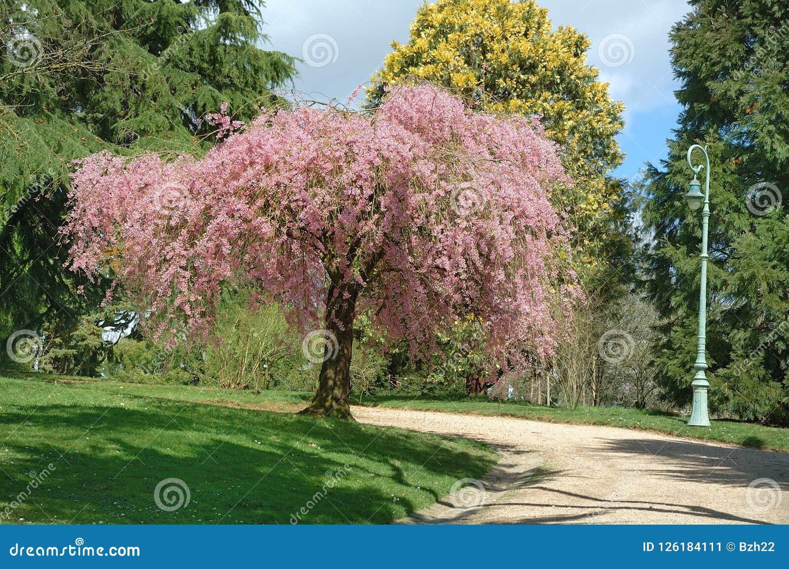 Parque con el árbol rosado Imagen de archivo