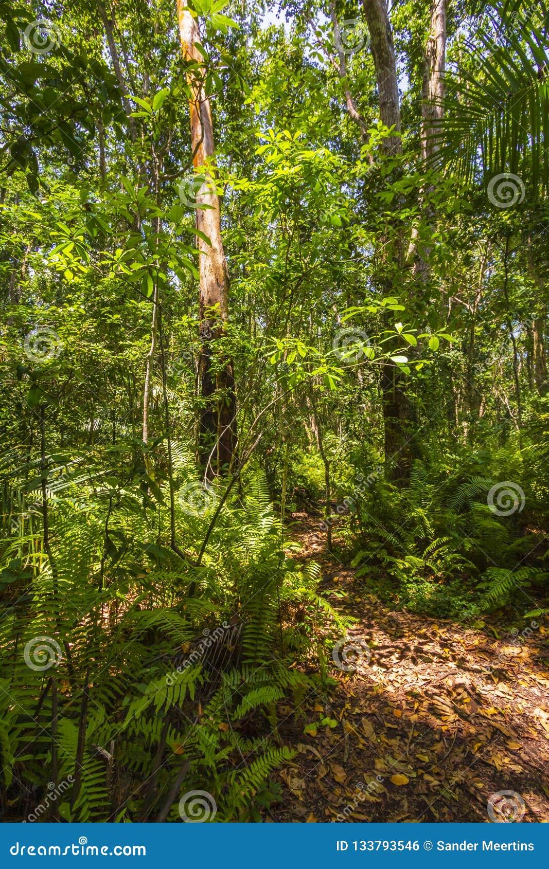 Parque nacional da baía de Jozani Chwaka da floresta da selva, Zanzibar, Tanzani
