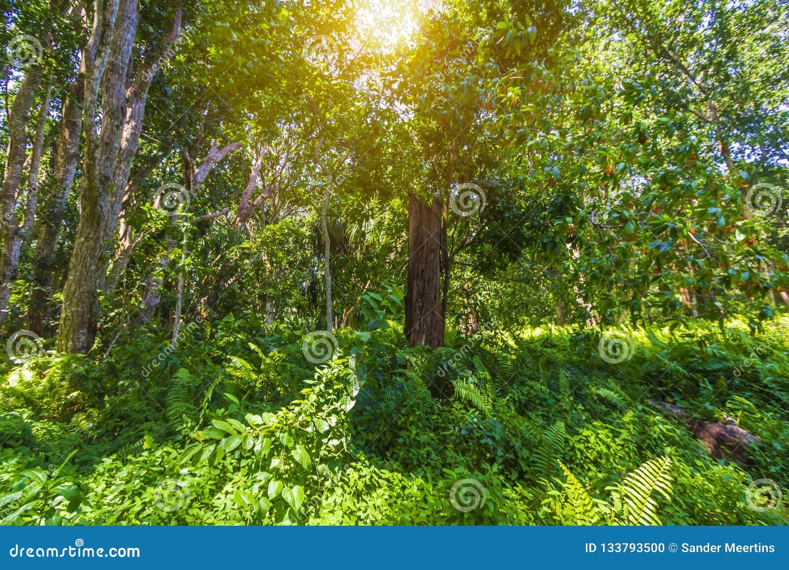 Parque nacional de la bahía de Jozani Chwaka del bosque de la selva, Zanzíbar, Tanzani