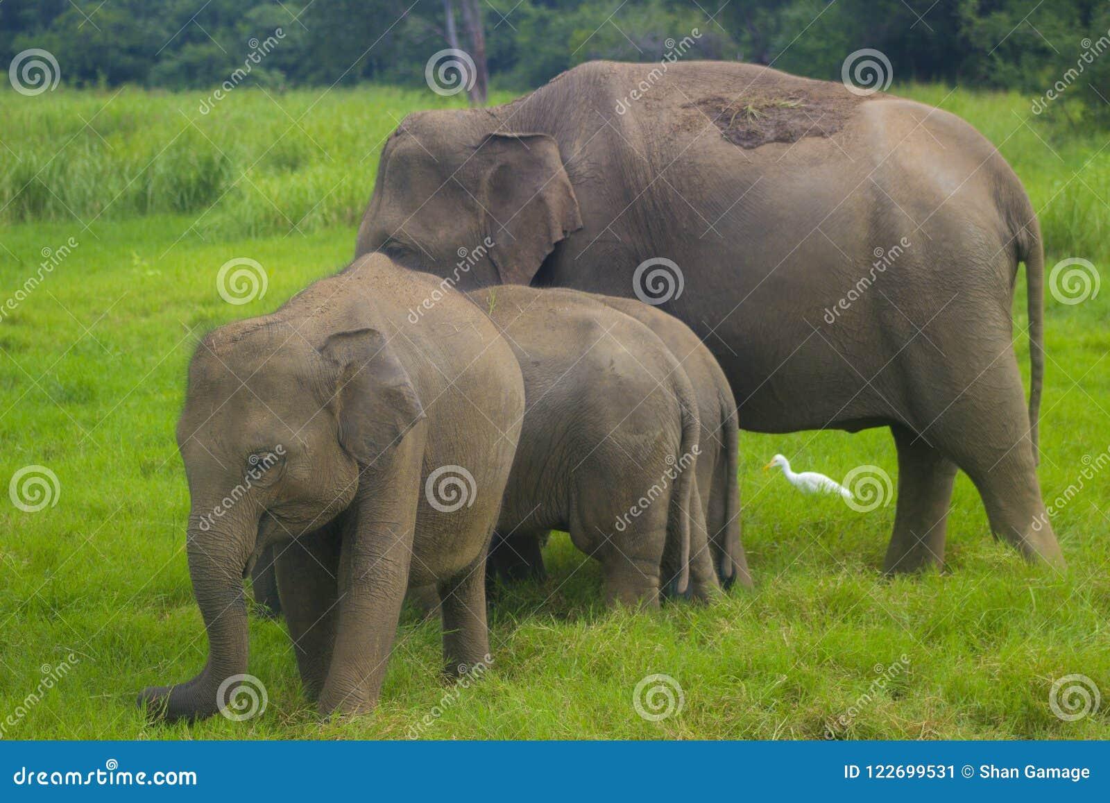Parque nacional del minneriya salvaje asiático de Eliphant - de Sri Lanka
