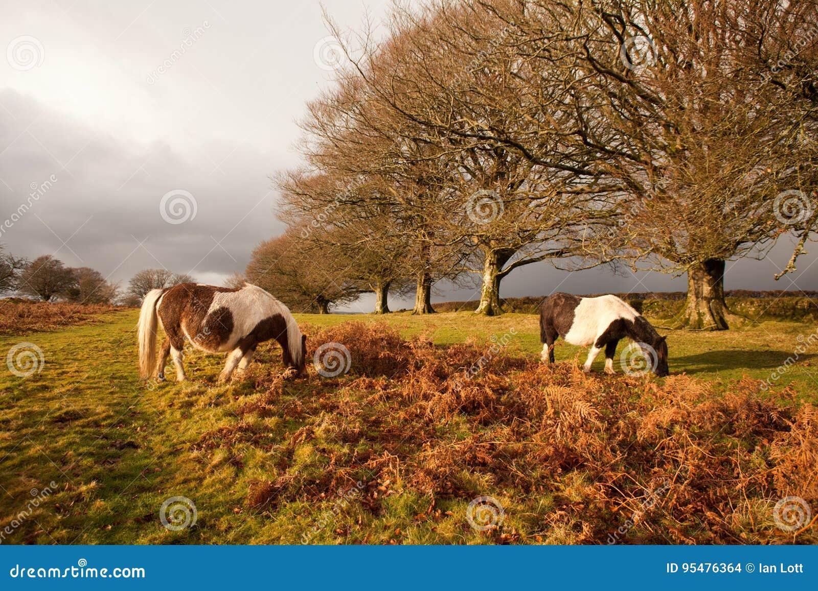 Parque nacional Devon del dartmoor salvaje de los potros del dartmoor