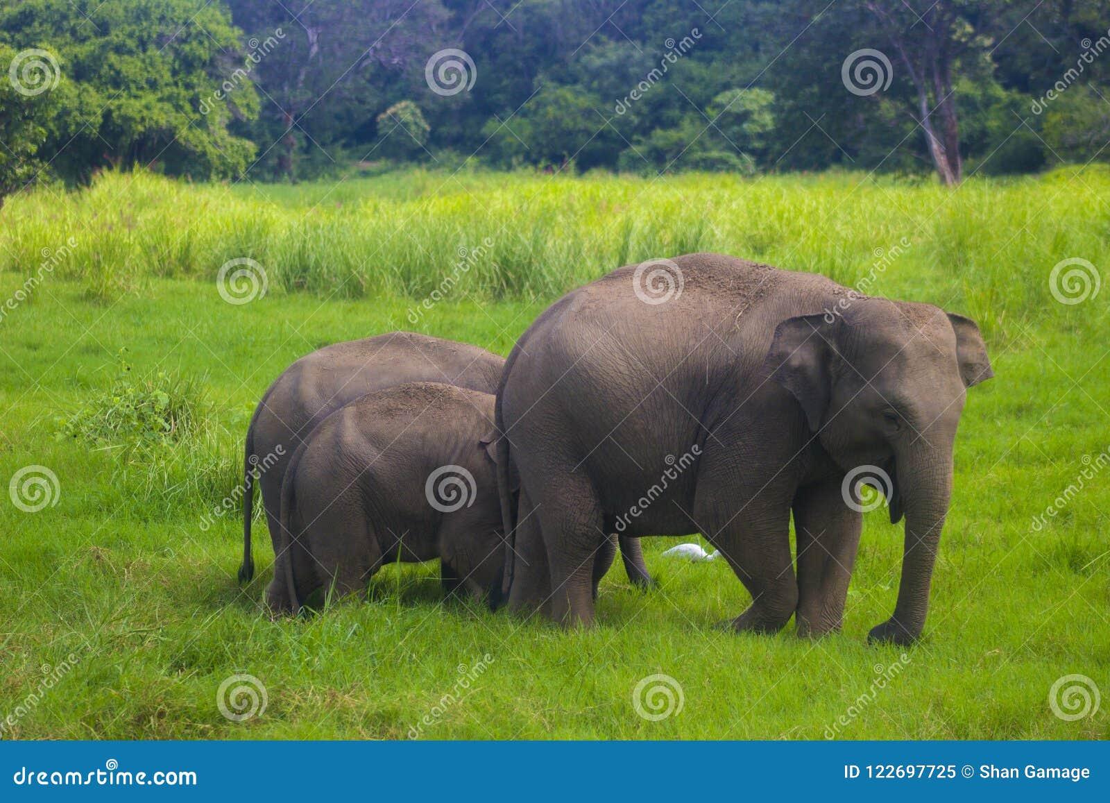 Parque nacional do minneriya selvagem asiático de Eliphant - de Sri Lanka