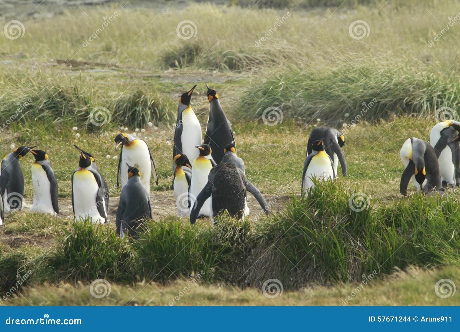 Parque Pinguino Rey - królewiątko pingwinu park na Tierra Del Fueg