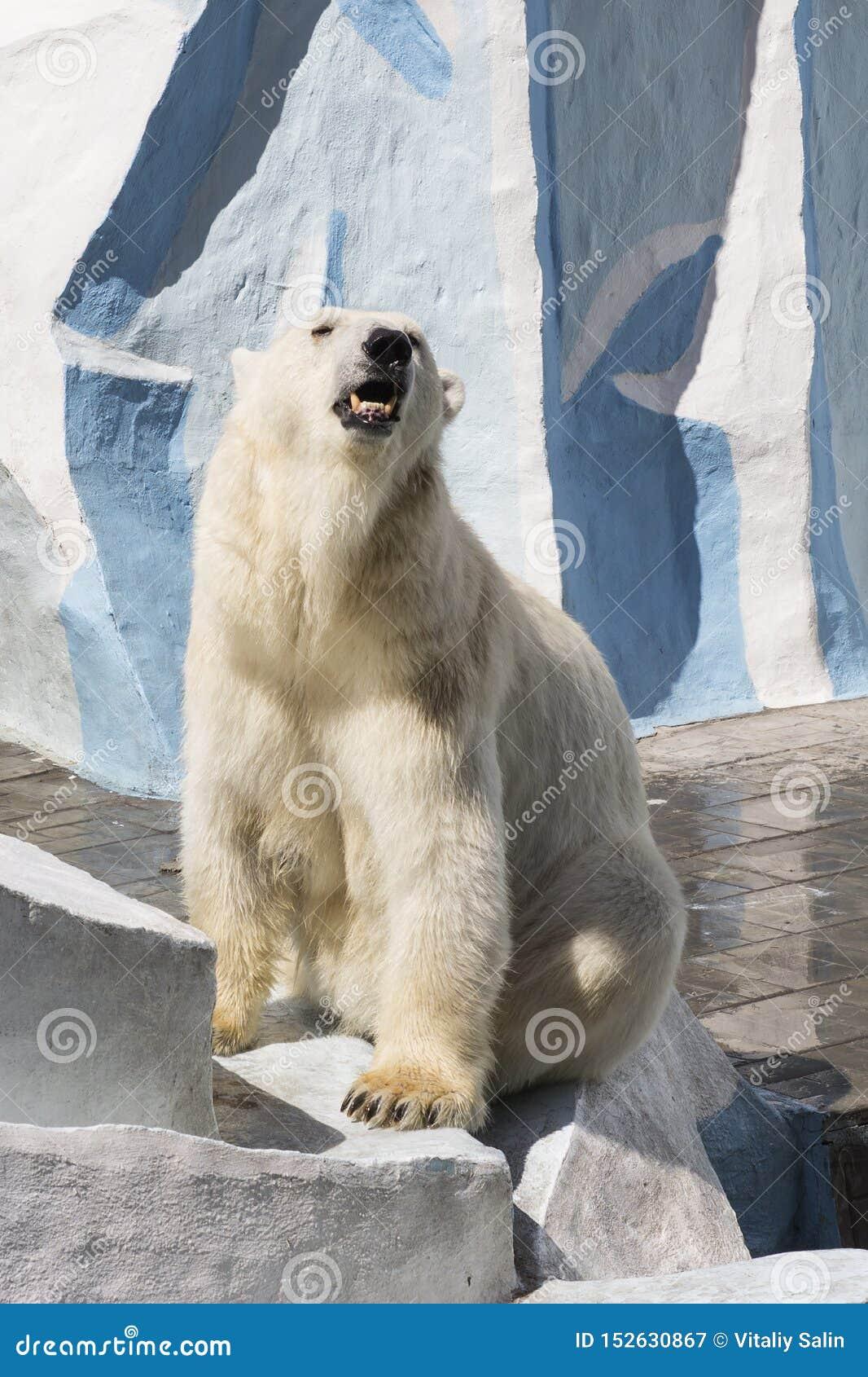 Parque zoológico de Novosibirsk Urso polar no jardim zool?gico
