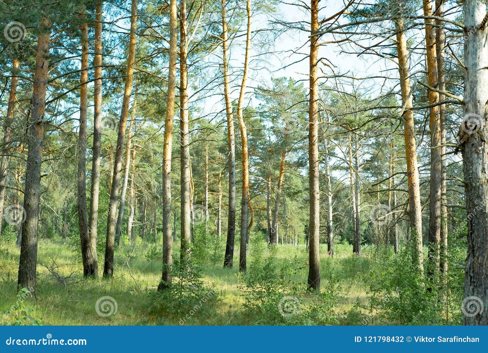 Parques naturales de la región de Moscú, bosque reservado hermoso