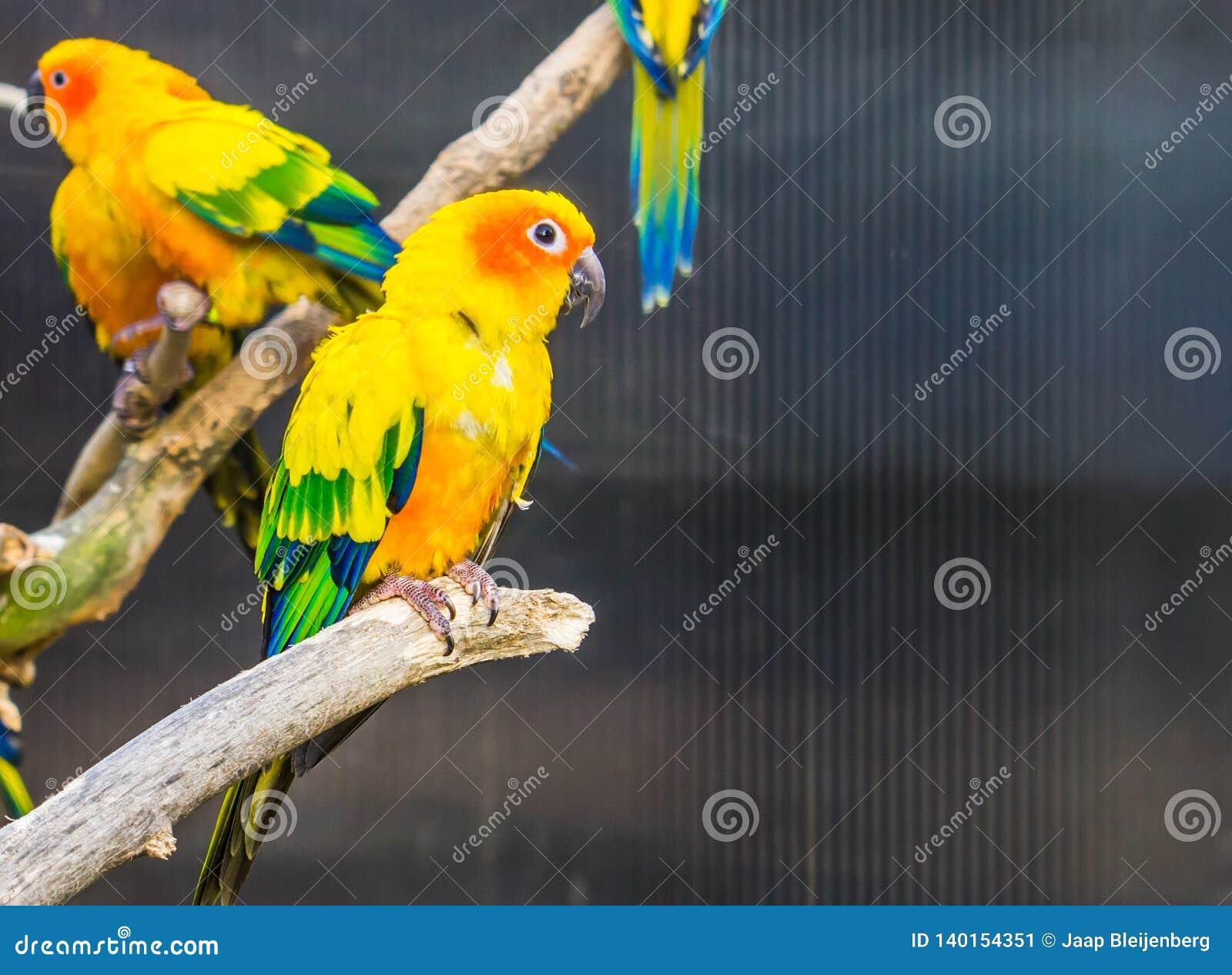 Parrocchetto variopinto che si siede su un ramo, piccolo pappagallo tropicale di Sun dall America, specie pericolosa dell uccello