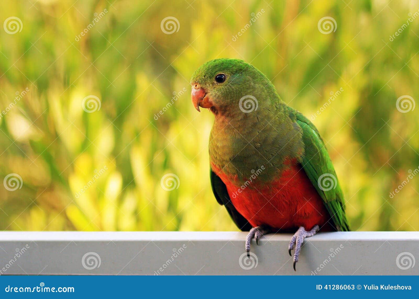 Parrot国王
