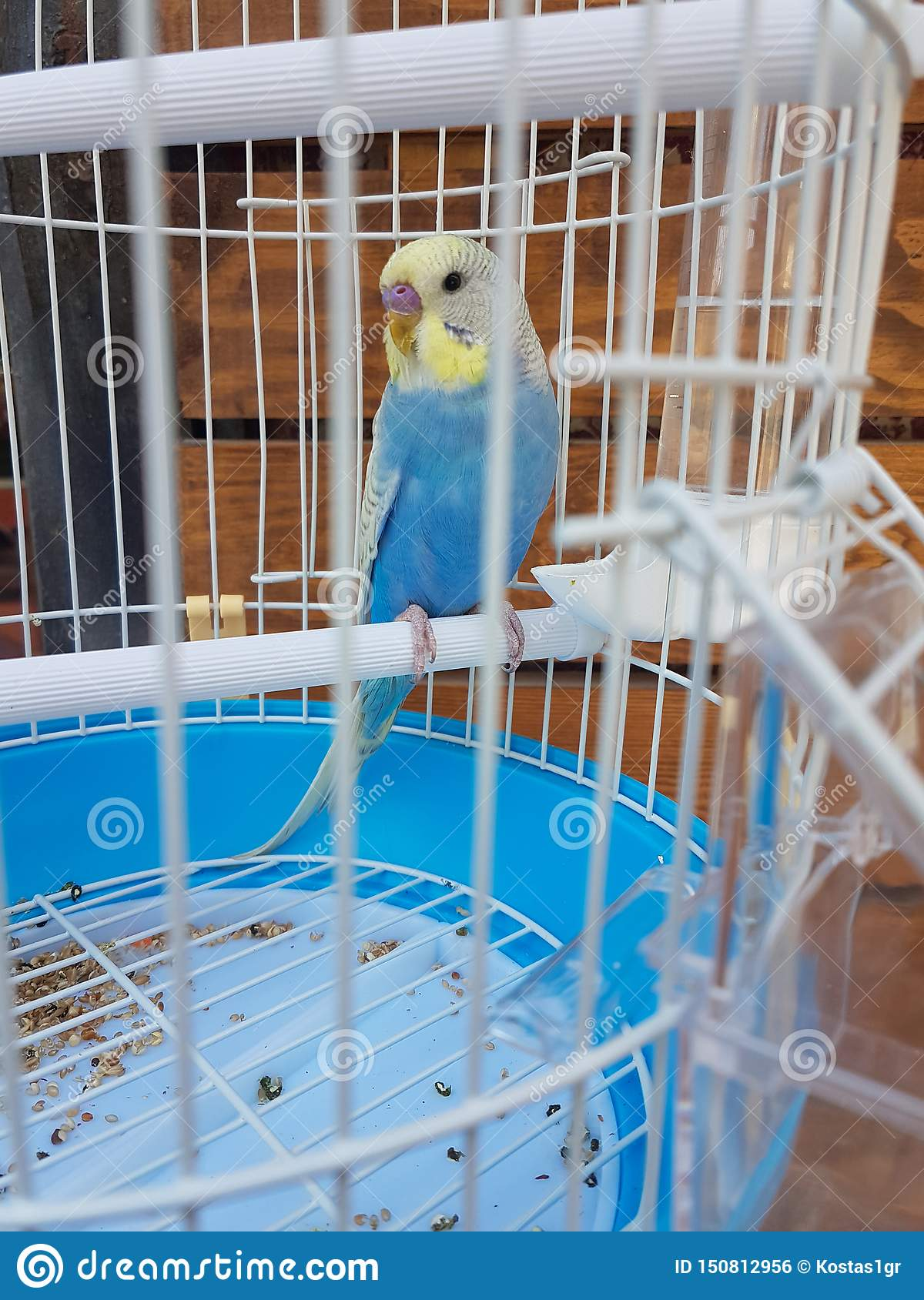 Parrot Blue In A Cage Of Pet Shop Stock Photo Image Of Feathered Looking 150812956