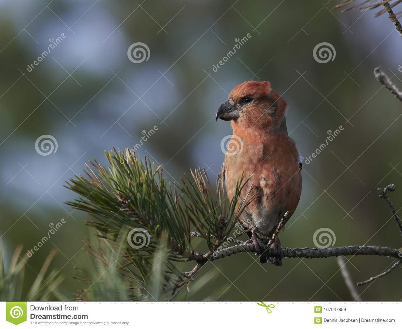 Parrot crossbill Loxia pytyopsittacus