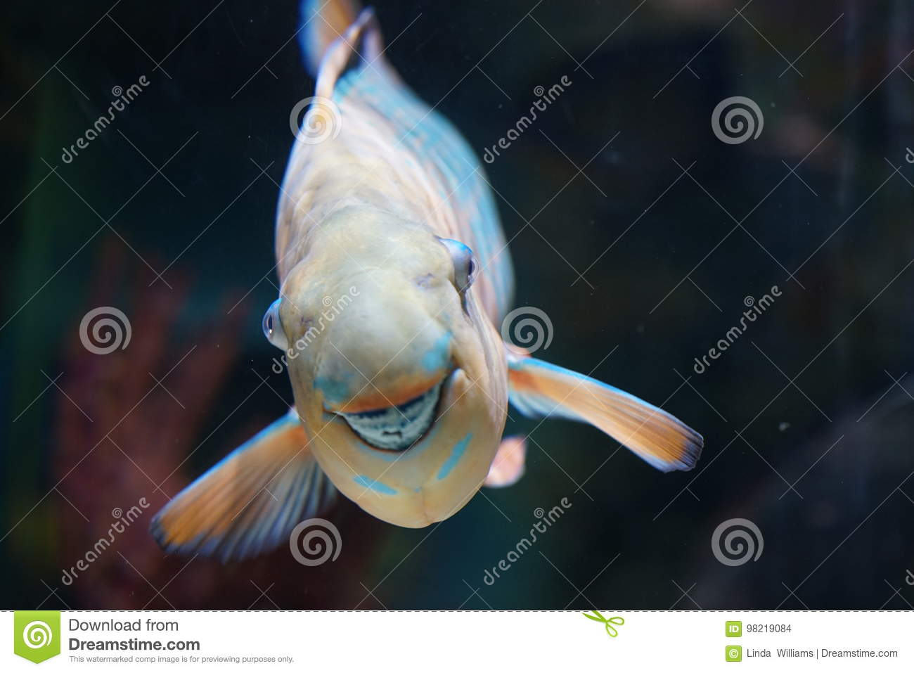 Grinning Parrot Fish