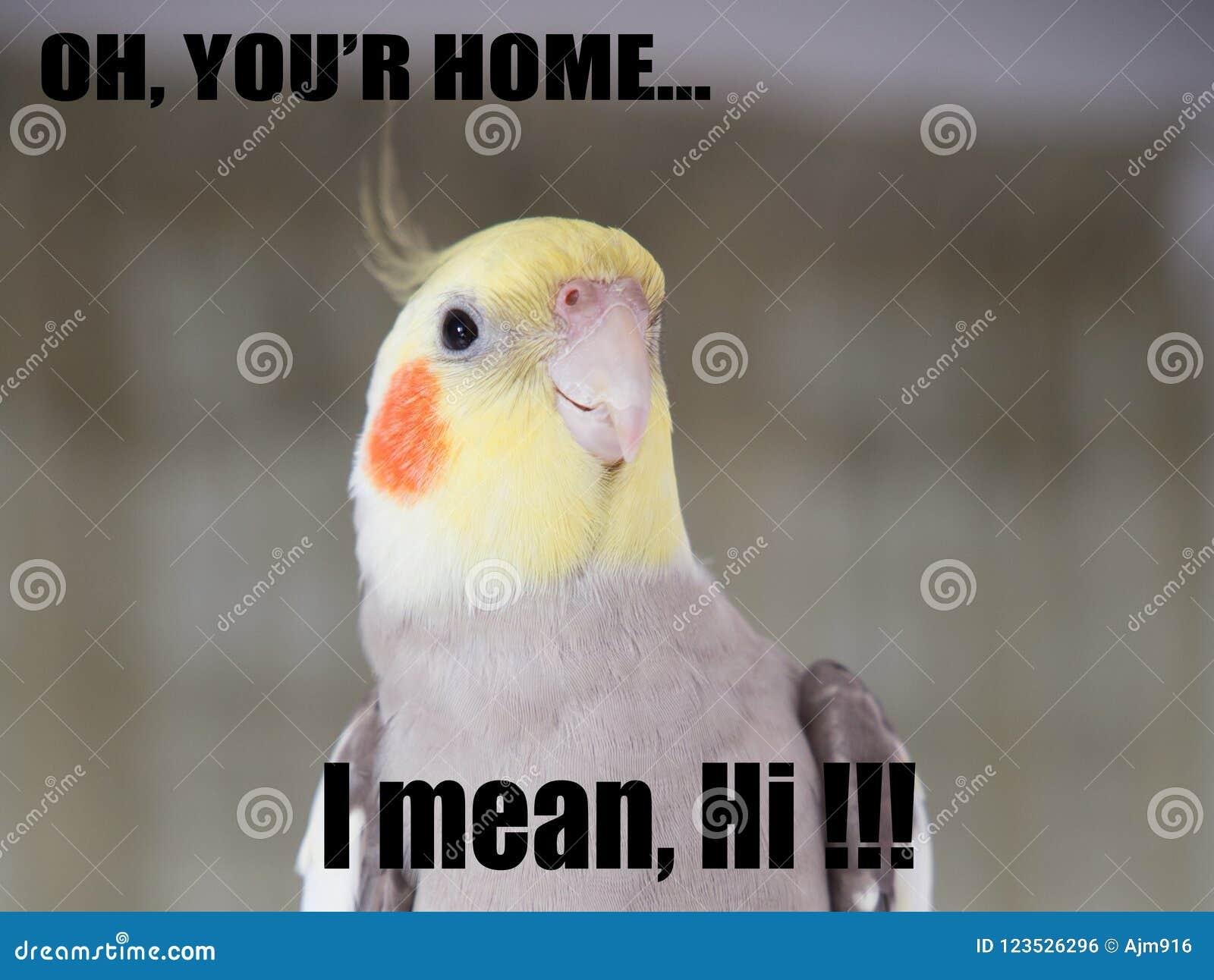 Parrot Funny Quote Cockatiel Portrait Cute Memes Your Home